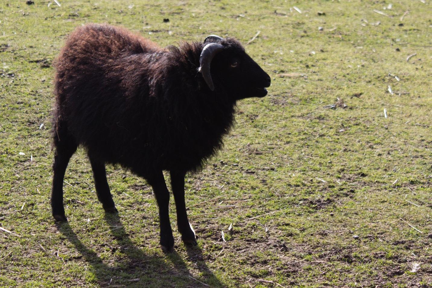 Schwarzes Schaf auf Mallewupp